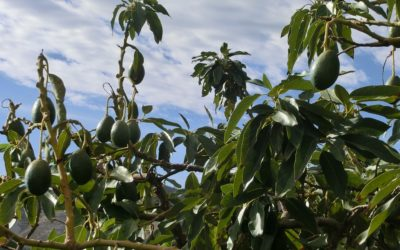 Visit the Source of the Hass Avocado