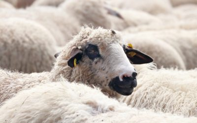 Temple Works, Leeds: And Sheep…