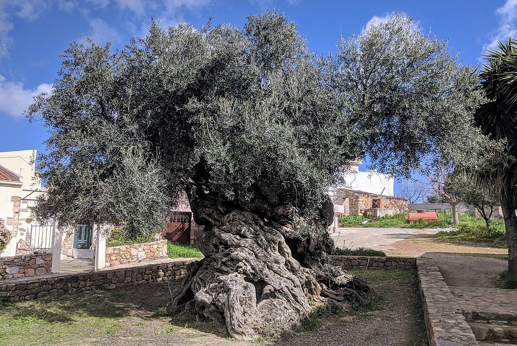 Visiting Greece: The Olive Tree of Vouves