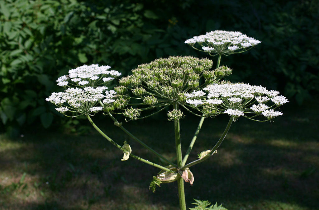 Danger! Giant Hogweed